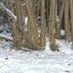 Close up Coppice Stool