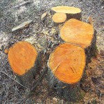 Just Cut Alder Coppice stool